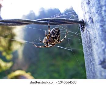 Araneus diadematus or European garden spider, diadem spider, orangie, cross spider, crowned orb weaver or Gartenkreuzspinne