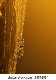 Araneus diadematus, European garden spider or diadem spider, an orb-weaver spider