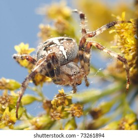 araneus diadematus sitting on a flower in a sunny spring day