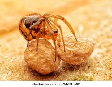 Araneus perpolitus spider guarding its egg sacs