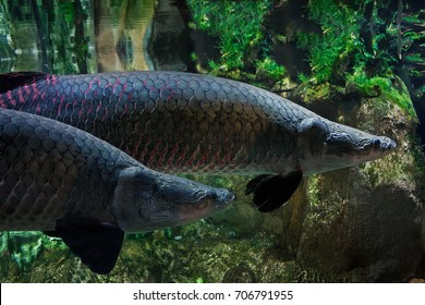 Arapaima gigas (pirarucu)- one of the largest fresh-water fishes