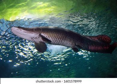 Arapaima (Sudis gigas), also known as the pirarucu. Wildlife animal.