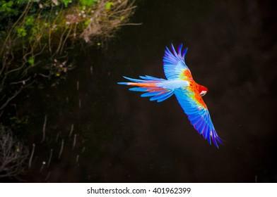 Arara Azul, brazilian rare bird flying over a river on Bonito, Mato Grosso do Sul, Brazil.
