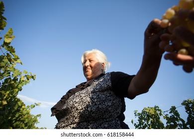 ARARAT, ARMENIA - OCTOBER 5, 2014: An undefined lady collects grape harvest in Ararat valley, Armenia