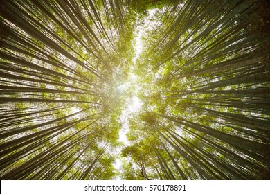 Arashiyama Bamboo forest in Kyoto, Japan. View from the bottom up with fish-eye lens