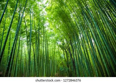 Arashiyama bamboo green forest in morning, Kyoto Japan
