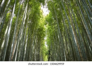 Arashiyama bamboo grove of Sagano, Kyoto, Japan.