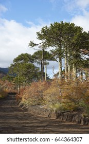 Araucania Trees (Araucaria araucana) in Conguillio National Park in southern Chile.