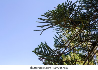 Araucaria against blue sky