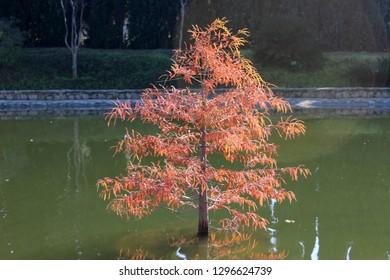 Araucaria angustifolia, the Paraná pine, Brazilian pine or candelabra tree