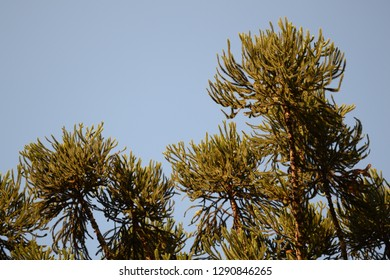 Araucaria angustifolia tree
