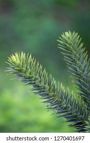 Araucaria araucana called the monkey puzzle tree, monkey tail tree, has a bautiful shape.