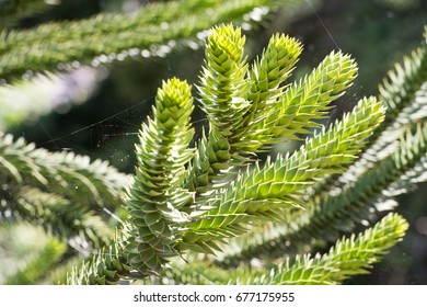 Araucaria araucana (commonly called the Monkey puzzle tree, Monkey tail tree, Chilean pine, or Pehuen).