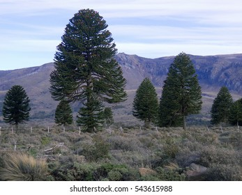 Araucaria araucana at Lanin National Park