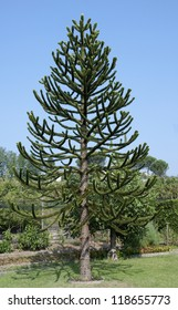 araucaria araucana- monkey puzzle tree