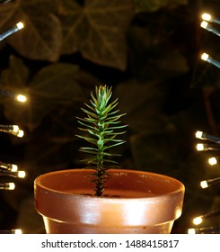 Araucaria araucana seedling with solar lamps in the night