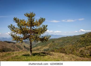 Araucaria araucana tree in the countryside near Medellin-Colombia