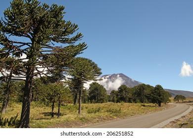Araucaria (Araucaria araucana) trees in Bio bio Park (Chile)