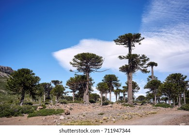 Araucaria araucana Trees on Patagonia, Neuqen, Argentina. Land of dinosaurs. Provincial Park of Copahue.