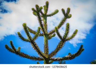 The araucaria or pehuén, also called Araucanian pine, is an arboreal species belonging to the Araucaria conifer genus of the family Araucariaceae.