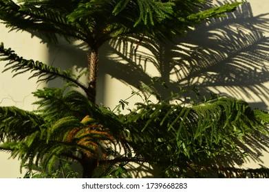 Araucaria columnaris commonly called aurcaria an  ornamental  plant grown in a garden.