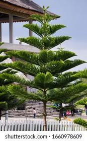 Araucaria columnaris, the coral reef araucaria, Cook pine, New Caledonia pine, Cook araucaria, or columnar araucaria
