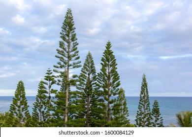 Araucaria Columnaris Stand in New Caledonia