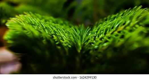 Araucaria columnaris tree in close shot