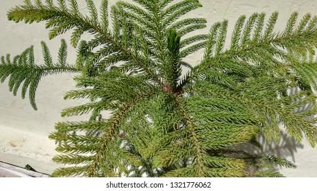 Araucaria columnaris tree, the coral reef araucaria plant, Cook pine, Christmas tree