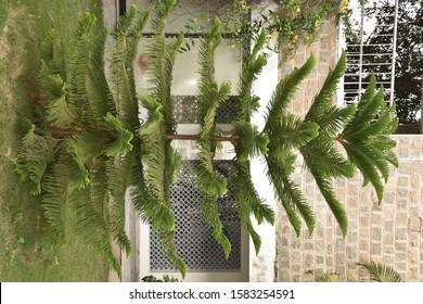 Araucaria columnaris tree in india