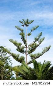 Araucaria columnaris tree, norfolk island pine against blue sky