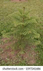 Araucaria columnaris tree photos in india