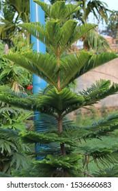 Araucaria columnaris,the coral reef araucaria,cock pine,cook araucariais a species of conifer in the family Araucariaceae