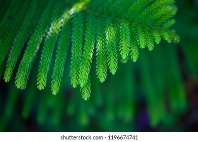 Araucaria cookii R.Br. (Salisb.) Franco,ARAUCARIACEAE,Norfolk Island Pine