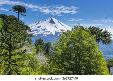 Araucaria forest in Conguillio National Park, Chile
