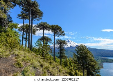 Araucaria forest and Llaima volcano in Conguillio National Park, Chile