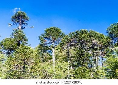 Araucaria forest in National Park Herquehue, Chile. The tree is called Araucaria araucana (commonly: monkey puzzle tree, monkey tail tree, Chilean pine)