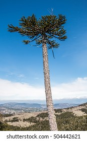 Araucaria forest in National Park Nahuelbuta, Chile
