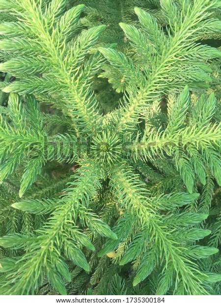 Araucaria Heterophylla background, light green texture of Norfolk Island Pine