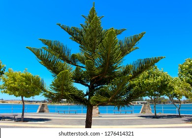 Araucaria heterophylla (excelsa) is a vascular plant in the ancient and now disjointly distributed conifer family Araucariaceae named Norfolk Island pine growing in Bunbury city ,Western Australia.