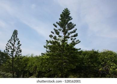Araucaria heterophylla in garden