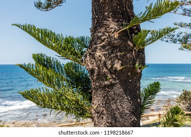 Araucaria heterophylla or Norfolk Island pine growing near the ocean, Queensland, Australia