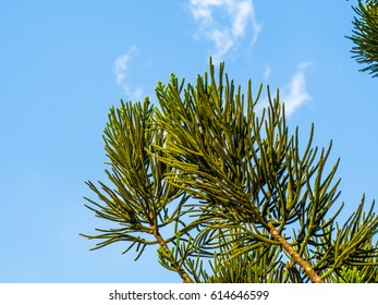 Araucaria heterophylla (norfolk island pine) Leaf, Araucaria excelsa is a member of the Araucariaceae,green prickly branches of pine with blue sky and cloud for background