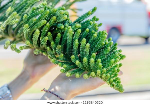 Araucaria heterophylla or Norfolk Island pine foliage in woman's hands, Queensland, Australia