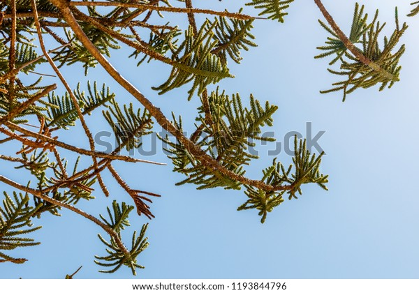 Araucaria heterophylla or Norfolk Island pine, Queensland, Australia