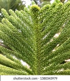 Araucaria heterophylla (Salisb.) Franco.