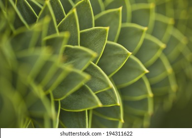 Araucaria, also known as monkey puzzle