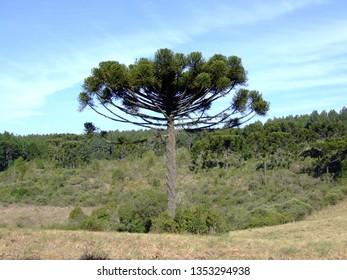 Araucaria pine, southern Brazil