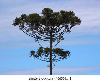 Araucaria tree (Araucaria angustifolia) in rural Tamarana County, State of Parana, Brazil.