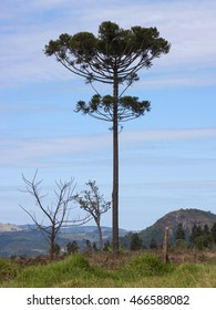 Araucaria tree (Araucaria angustifolia) in rural Tamarana County, State of Parana, Brazil.